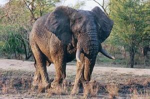 330px-Elephants_du_Kruger