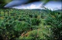plantation palmier